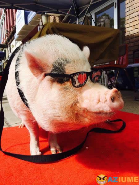 Este porco tem mais estilo que você