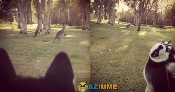 Primeira vez que ele ver um canguru