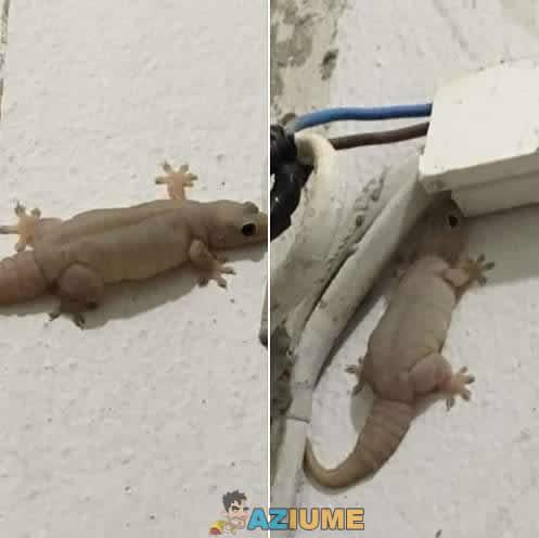 Apenas uma lagartixa obesa