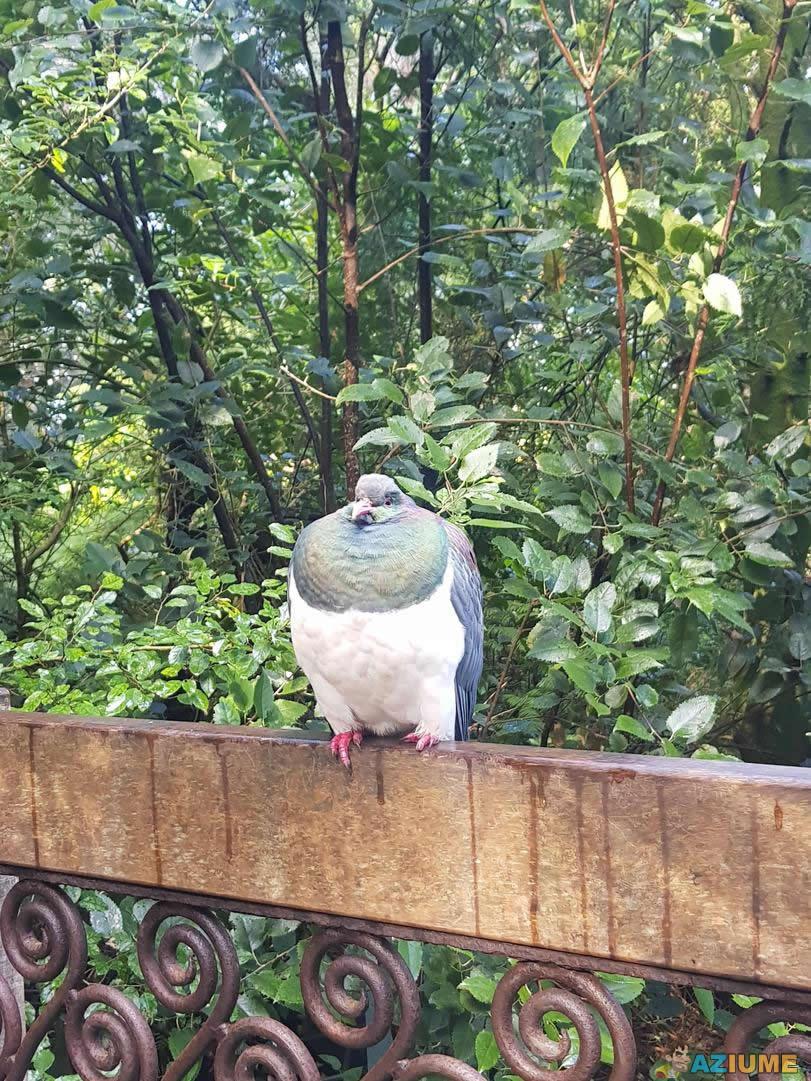 Você já viu uma pomba gorda