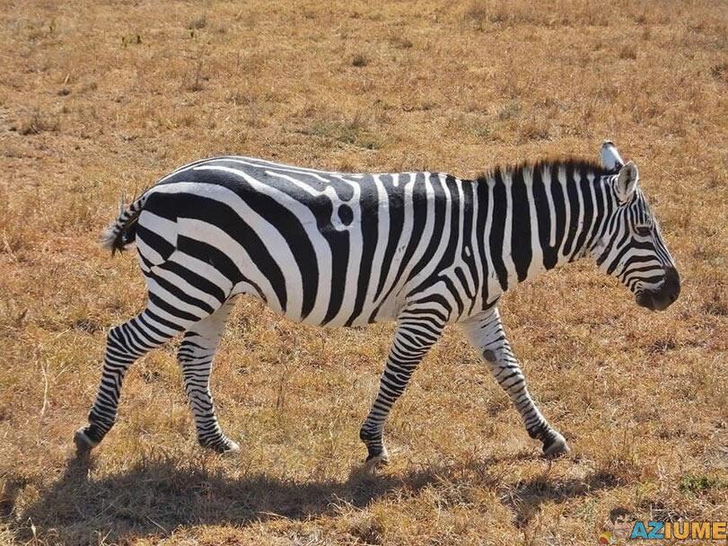 Essa zebra tem uma falha