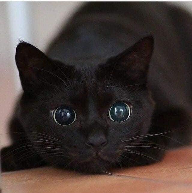 Gatos são panteras