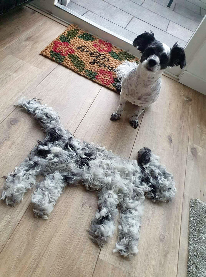 Cachorro trocando de pelo