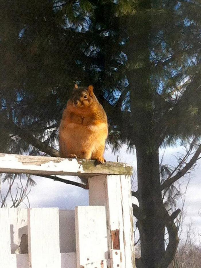 Lindos esquilos gordos que comem demais