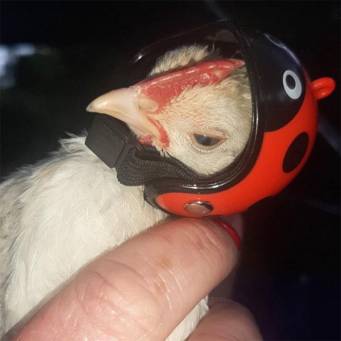 Você pode comprar um capacete para o seu frango de estimação