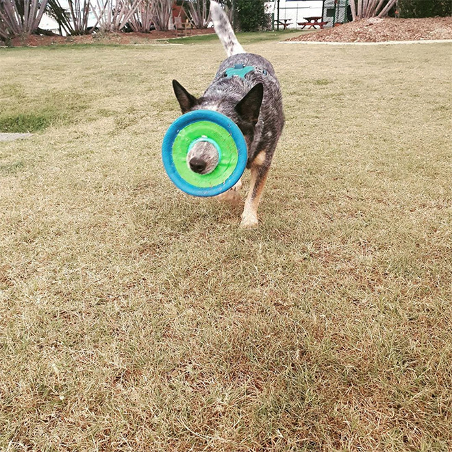 Alguns cães não têm ideia de como segurar frisbees