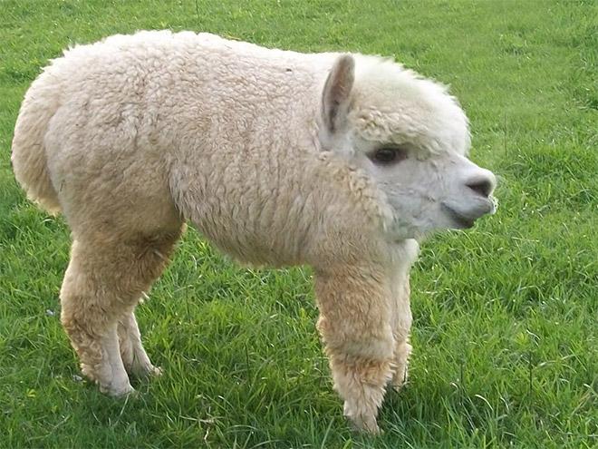 22 animais sem pescoço