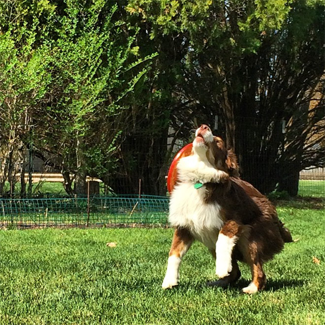 Alguns cães são terríveis para pegar frisbees