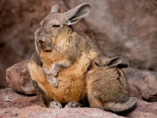 Conheça Viscacha: esta criatura muito pouco divertida e sonolenta