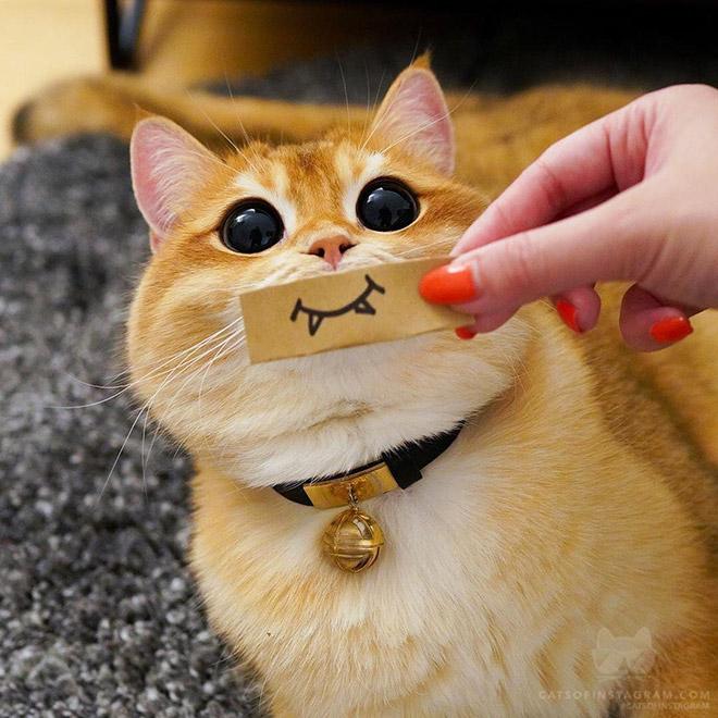 Conheça Pisco: um gato que parece com o gato de botas do Shrek