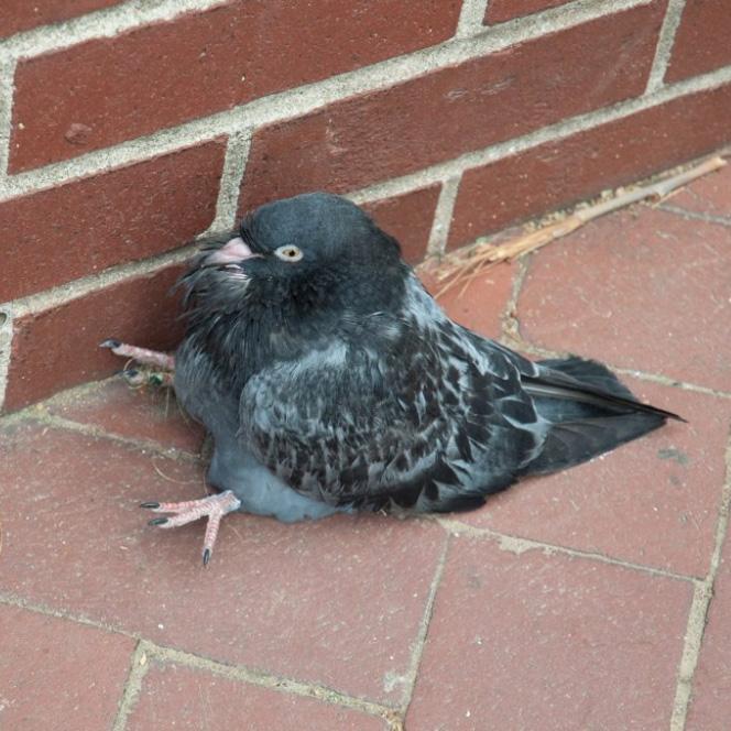 Você já viu um pombo sentado?