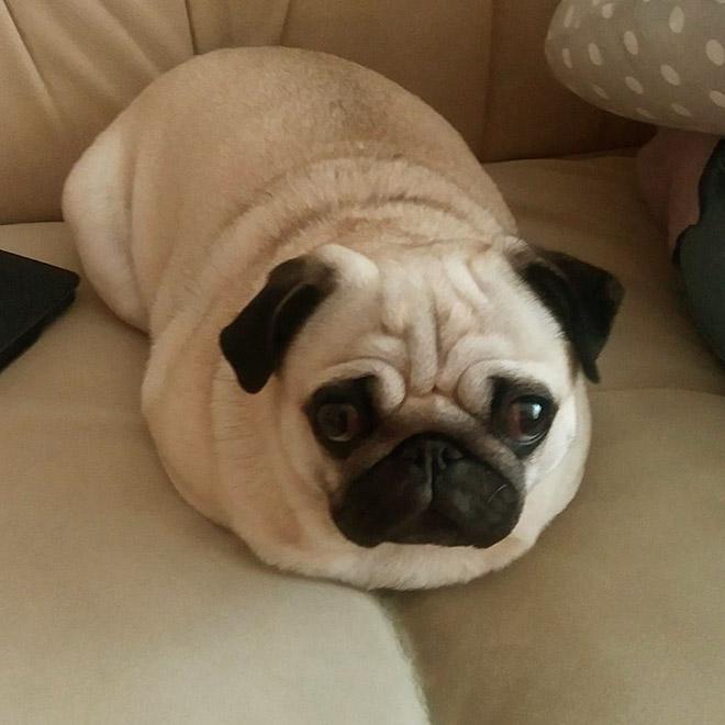 Você sabia que Pug são pães?