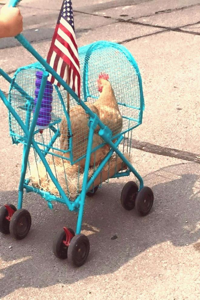 As pessoas agora estão fazendo carrinhos de passeio para galinhas