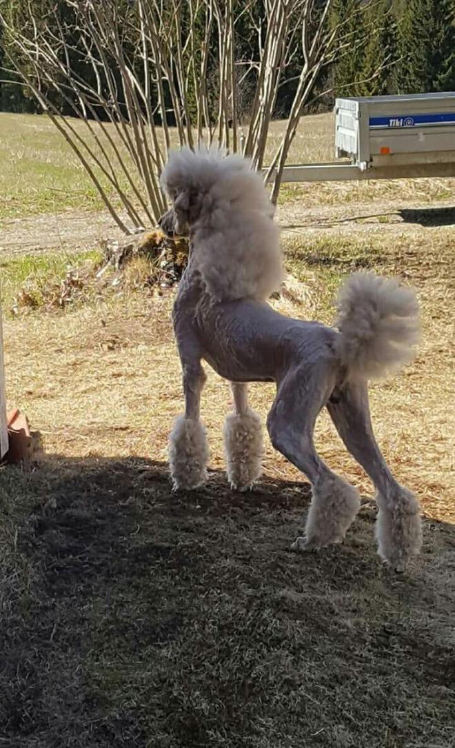 Tendência estranha: cães com tainhas