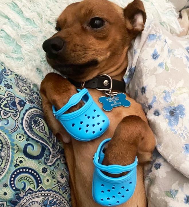 Crocs para cães a nova moda
