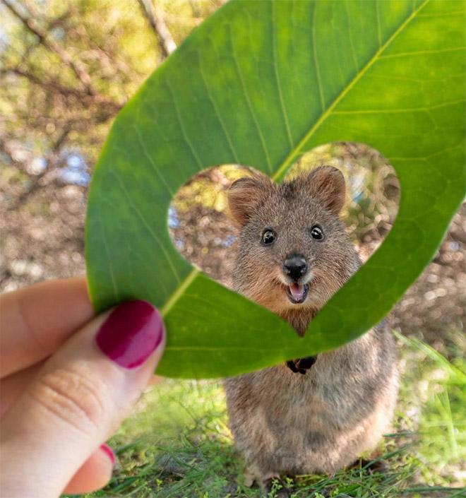 Conheça Quokka: o animal mais feliz da terra
