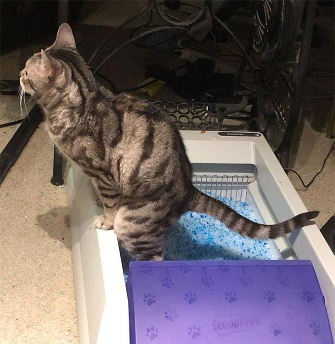 Você sabia que alguns gatos gostam de fazer cocô em pé?
