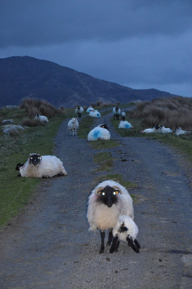 Ovelhas à noite parecem aterrorizantes