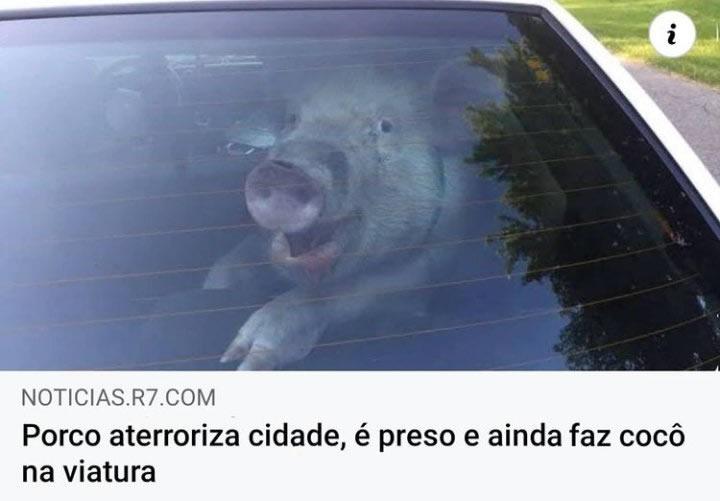 Porco aterroriza cidade