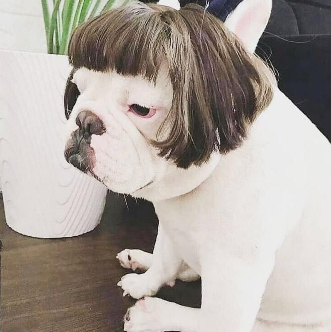 Aparentemente, Cachorros com Perucas é uma tendência do Instagram