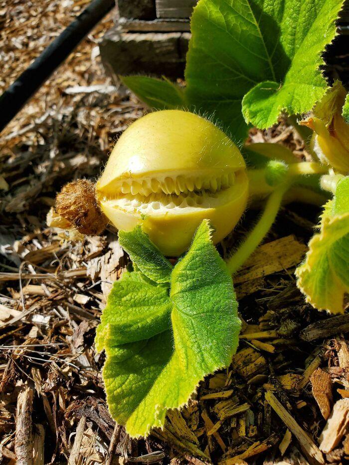 22 frutas e vegetais com formato assustador