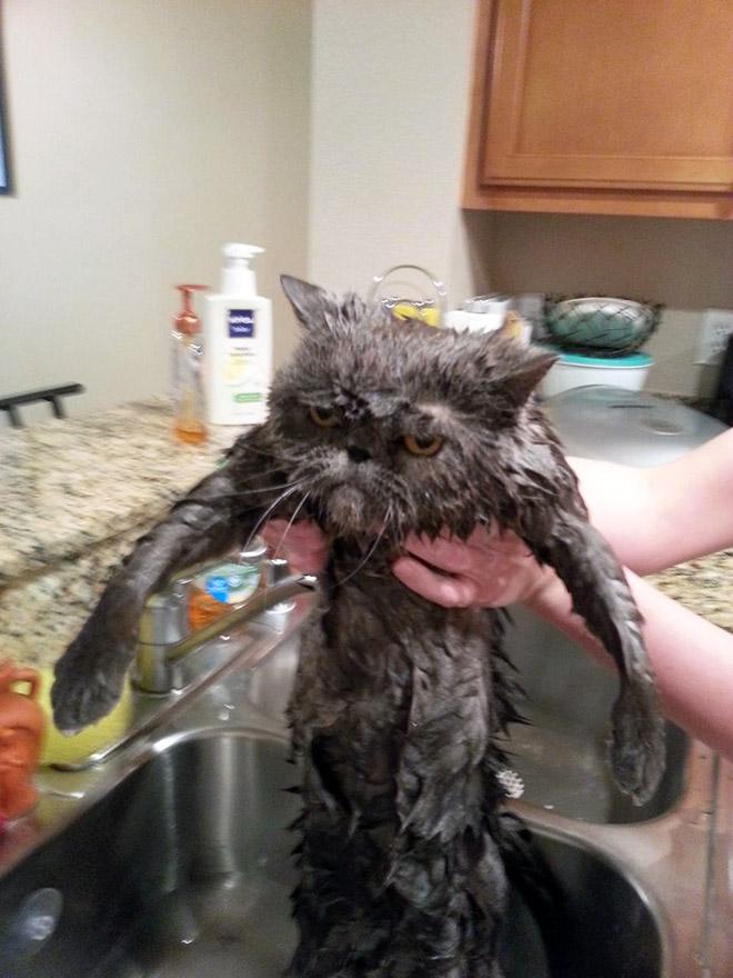 22 gatos que planejam seu assassinato depois de tomar um banho