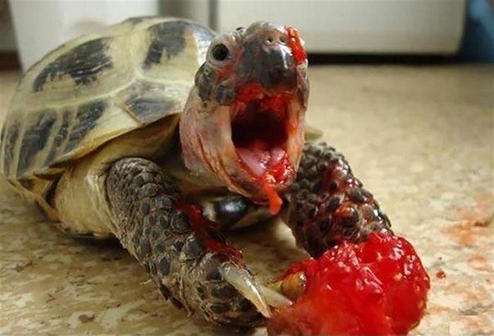 Tartarugas comendo morangos parecem aterrorizantes