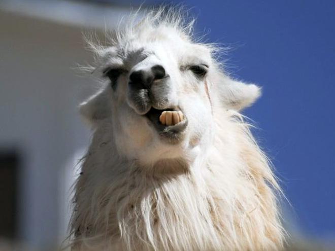 Alpacas e lhamas são criaturas lindas e majestosas