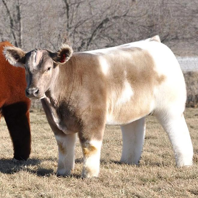 Vacas todas lavadas e secas com xampu